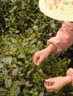 green tea harvesting