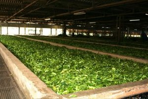 White Tea Processing The Cool Way
