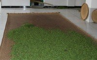 white tea processing